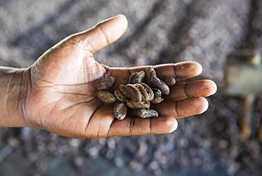 Cocoa beans in one hand, close-up, cocoa factory, batete, organic, Equatorial Guinea, Africa