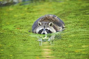 Raccoon (Procyon lotor) floating in a pond, captive, Bavaria, Germany, Europe