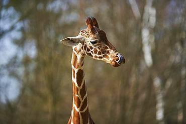 Portrait of a Reticulated giraffe (Giraffa camelopardalis reticulata), captive, Germany, Europe