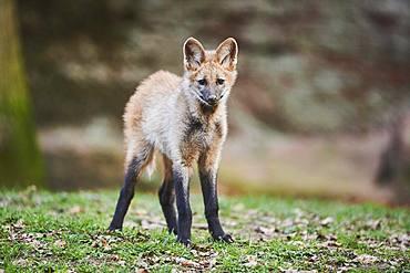 Maned Wolf, young animal, captive, Bavaria, Germany, Europe