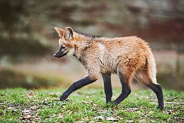 Maned Wolf, young animal, running, captive, Bavaria, Germany, Europe
