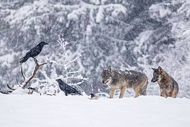 Pack of wolves (Canis lupus) observes ravens (Corvus corax) feeding on the carcass, winter meadow, podkarpackie, Bieszczady mountains, Poland, Europe