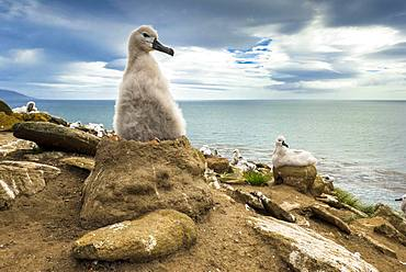 Black-browed Albatross (Thalassarche melanophris) chick on its nest, Saunders Island, Falkland Islands, South America