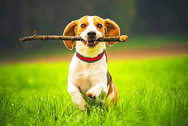 Beagle, male, running with stick in mouth in a meadow, Austria, Europe