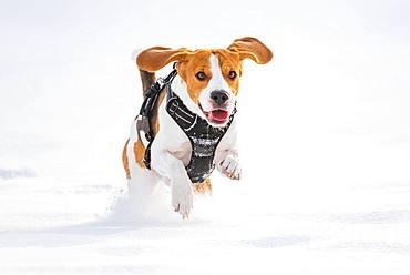 Beagle, male, running through snow, Austria, Europe