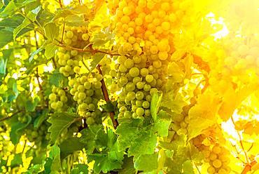 Green grapes on the vine, South Styria, Austria, Europe