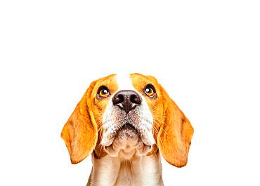 Beagle with pleading look, animal portrait, studio shot, white background, Austria, Europe