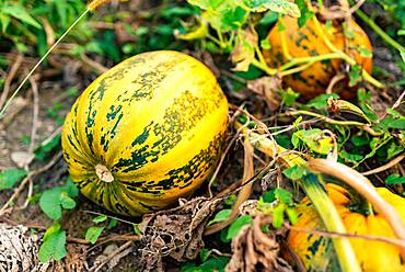 Pumpkin growing in a field, Austria, Europe