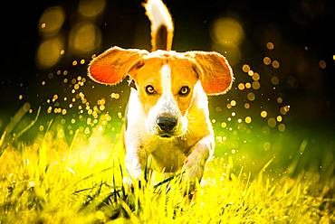 Beagle, male, running through morning dew in a meadow, Austria, Europe
