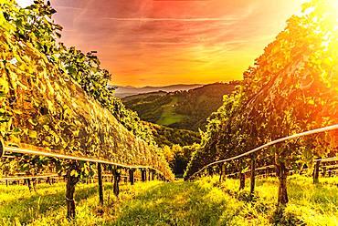 Vines on vineyard in the evening red, Kitzeck im Sausal, Styria, Austria, Europe
