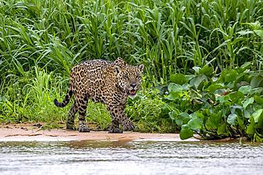 Jaguar (Panthera Onca), stalks in the shore area, Matto Grosso do Sul, Pantanal, Brazil, South America
