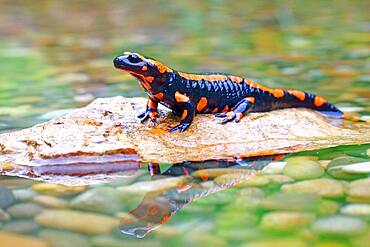 Orange Fire salamander (Salamandra salamandra), Rare colour variation, Solms, Hesse, Germany, Europe