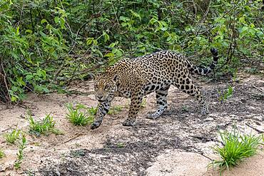 Jaguar (Panthera Onca), female, creeps on silent soles, Matto Grosso do Sul, Pantanal, Brazil, South America