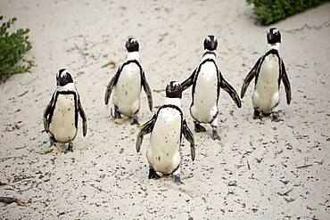 African penguin (Spheniscus demersus), adult, group, beach, running, on shore, Boulders Beach, Simon's Town, Western Cape, South Africa, Africa