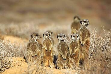 Meerkat (Suricata suricatta), Meerkat, adult, young animals, group, warm up, alert, on guard, under construction, Oudtshoorn, Western Cape, South Africa, Africa
