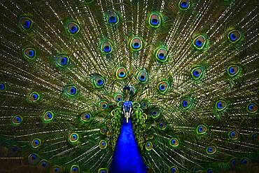 Indian peafowl (Pavo cristatus), captive, Stuttgart, Baden-Wuerttemberg, Germany, Europe