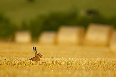 Brown hare (Lepus europaeus) adult sitting in stubble field, Norfolk, England, United kingdom
