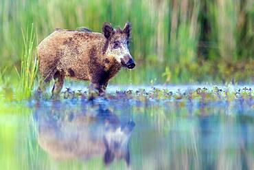 Wild boar (Sus scrofa) standing in water, with own mirror image, Biosphere Reserve Mittelelbe, Saxony-Anhalt, Germany, Europe