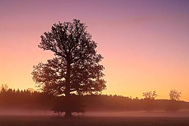Oak (Quercus ) in morning fog, Irndorfer Hardt, Upper Danube nature park, Baden-Wuerttemberg, Germany, Europe