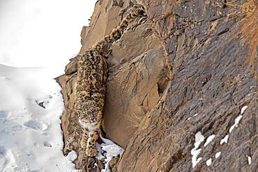 Snow leopard (Panthera uncia) on snowy rock, Iin Spiti region of the Indian Himalayas, India, Asia
