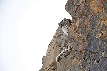 Snow leopard (Panthera uncia) looking down behind a rock, Spiti region in the Indian Himalayas, India, Asia