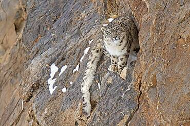 Snow leopard (Panthera uncia) on rock, Spiti region of the Indian Himalayas, India, Asia