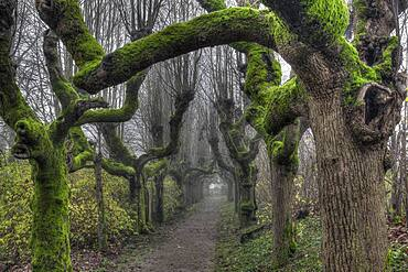 Alley of gnarled and mossy trees, Warthausen, Baden-Wuerttemberg, Germany, Europe