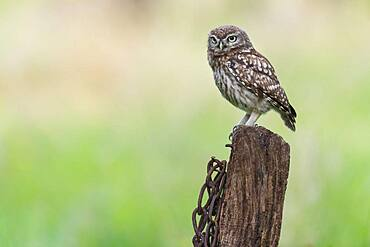 Little owl (Athene noctua ), Vechta, Lower Saxony