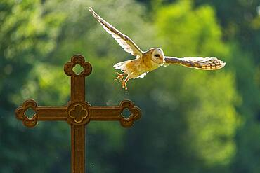 Common barn owl (Tyto alba) flies off a cross against the light, Vechta, Lower Saxony, Germany, Europe