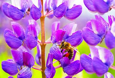Bee at lupine flower, lupines, lupinus, multi-leaved lupine, Upper Austria, Austria, Europe