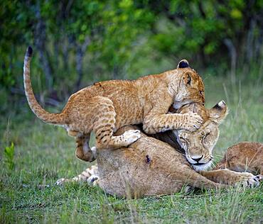 Younger Lionplays, climbs on mother, lioness (Panthera leo), Masai Mara, Kenya, Africa