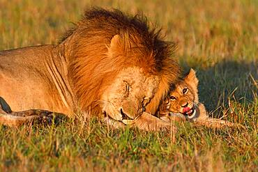 Manes (Panthera leo) and young animal, Masai Mara Game Reserve, Kenya, Africa