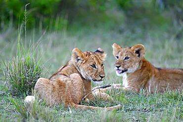 Young (Panthera leo), Masai Mara Game Reserve, Kenya, Africa