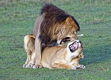 Lionskopula (Panthera leo), Masai Mara Game Reserve, Kenya, Africa