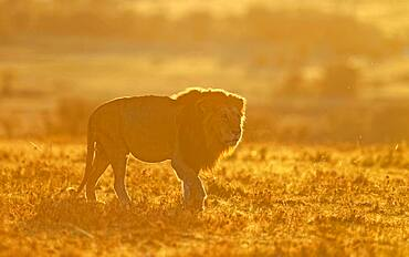 Lion (Panthera leo) at sunrise in the grass savannah, Masai Mara Game Reserve, Kenya, Africa