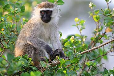 Vervet Monkey (Chlorocebus pygerythrus), eating, sitting in the bush, Queen Elizabeth National Park, Uganda, East Africa, Africa