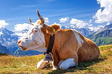 Swiss cow in the high mountains, Jungfrau region, Canton of Bern, Switzerland, Europe