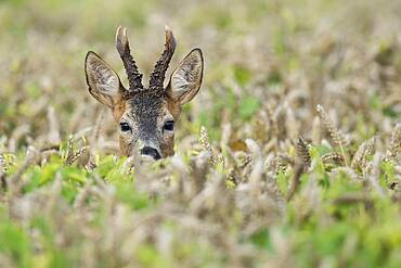 Portrait of a buck (Capreolus capreolus) in a cornfield, Goldenstedt, Lower Saxony, Germany, Europe