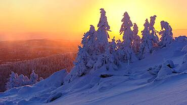 Snowy Spruces (Picea) on the winterly snowy chunk at sunset, winter, snow, resin, mountain, Schierke, Saxony-Anhalt, Germany, Europe