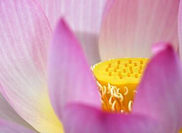 Pink Lotus flower (Nelumbo nucifera), Baden-Wuerttemberg, Germany, Europe