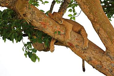 Lion (Panthera leo) lies in a tree, Queen Elizabeth National Park, Uganda, Africa