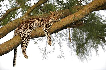 Leopard (Panthera pardus), female, lying in tree, Queen Elisabeth National Park, Uganda, Africa