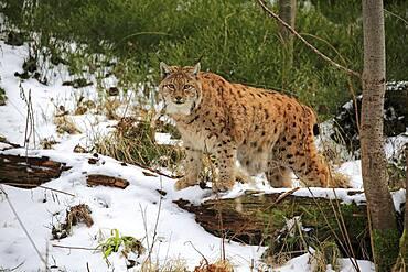 Carpathian Lynx (Lynx lynx carpathicus), adult, in winter, in snow, alert, Bavarian Forest, Bavaria, Germany, Europe