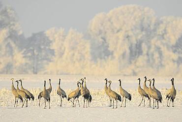 Resting cranes (grus grus) in snowy winter landscape, bird migration, Oldenburger Muensterland, Goldenstedt, Lower Saxony, Germany, Europe
