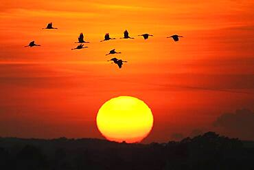 Migrating cranes (grus grus) in autumn in front of setting sun, Goldenstedter Moor, bird migration, Oldenburger Muensterland, Lower Saxony, Germany, Europe