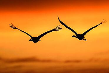 Flying Common cranes (grus grus) in front of orange morning sky, sunrise, migratory bird, Vaestergoetland, Sweden, Europe