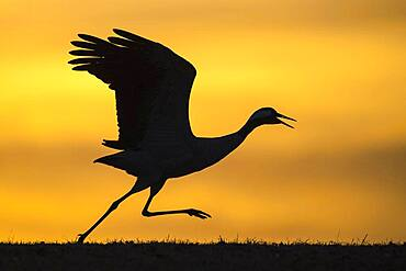 Flying crane (grus grus) in front of morning sky, silhouette, sunrise, Vaestergoetland, Sweden, Europe