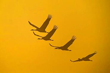 Flying Cranes (grus grus) in front of morning sky, sunrise, migrating bird, bird migration, Vaestergoetland, Sweden, Europe