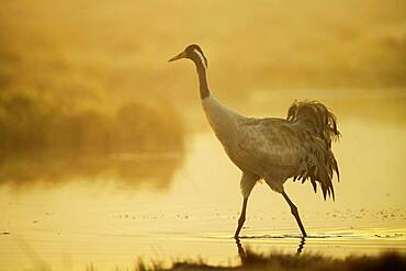 Crane (grus grus) at sunrise, walking in water in a misty bog, Vaestergoetland, Sweden, Europe