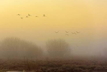 Flying cranes (grus grus) at daybreak over a misty moor, flock of birds, migratory birds, bird migration, Vaestergoetland, Sweden, Europe